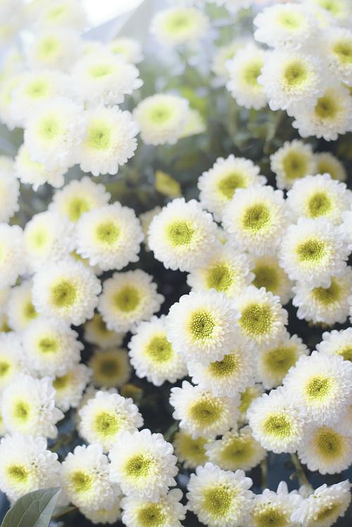 Chrysanthème blancs - Fleurs coupées